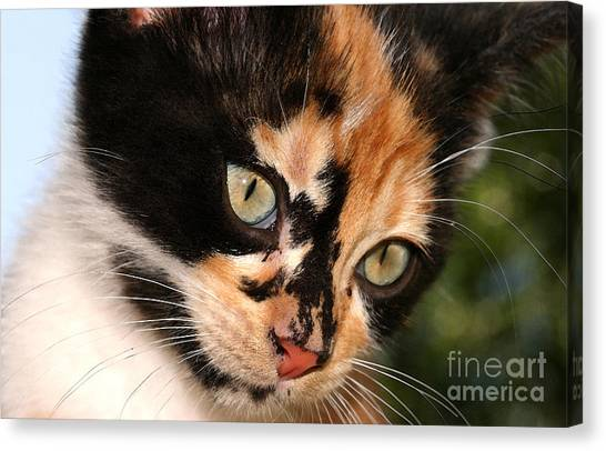 Stray Kitten Canvas Print by Steve Augustin