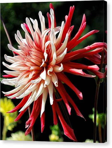 Striking Dahlia Red And White Canvas Print