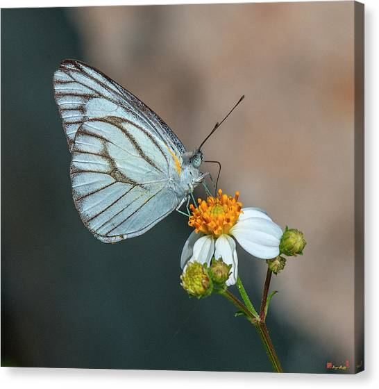 Striped Albatross Butterfly Dthn0209 Canvas Print