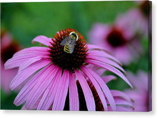 Striped Bumble Bee Canvas Print by Martin Morehead