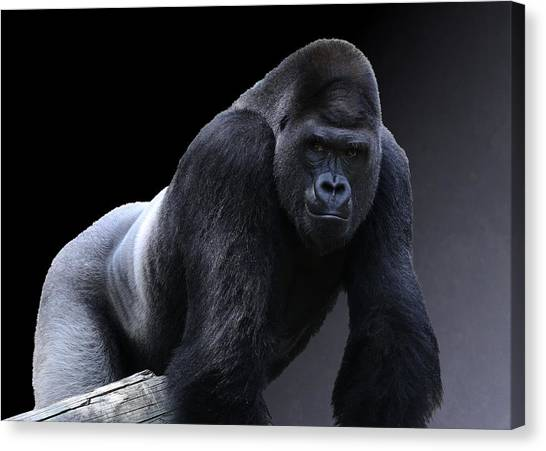 Strong Male Gorilla Canvas Print