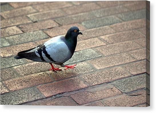 Strutting Pigeon Canvas Print