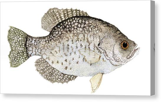 Bass Fishing Canvas Print - Study Of A Black Crappie by Thom Glace