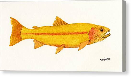 Study Of A Golden Rainbow Trout Canvas Print