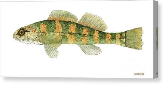 Study Of A Green Sided Darter Canvas Print