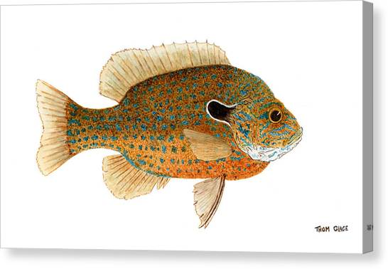 Study Of A Longear Sunfish Canvas Print