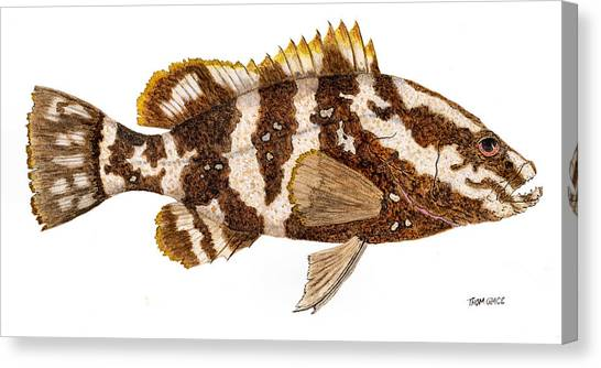 'study Of A Nassau Grouper' Canvas Print
