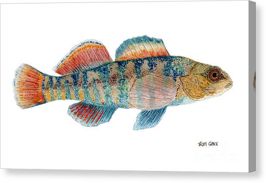 Study Of A Rainbow Darter Canvas Print