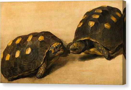 Ocean Life Canvas Print - Study Of Two Brazilian Tortoises by Albert Eckhout