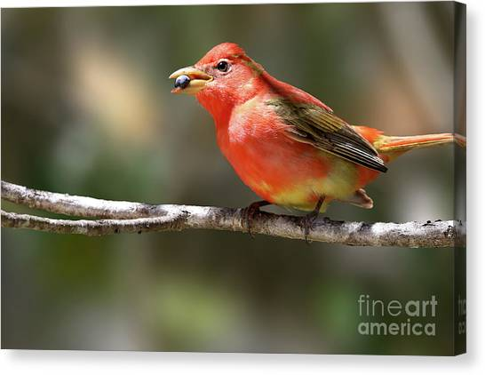 Stuffed Summer Tanager Canvas Print