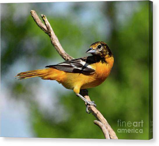 South Baltimore Canvas Print - Stunning Baltimore Oriole by Cindy Treger