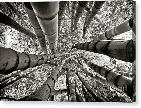 Stunning Bamboo Forest Canvas Print