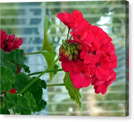 Stunning Red Geranium Canvas Print