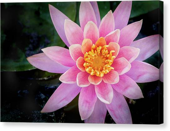 Stunning Water Lily Canvas Print