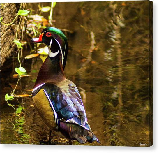 Stunning Wood Duck Canvas Print