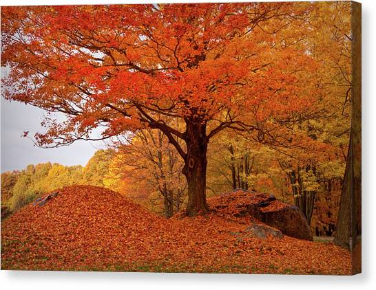 Sturdy Maple In Autumn Orange Canvas Print