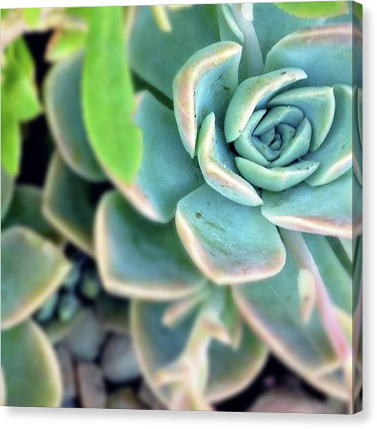 South African Canvas Print - Succulent. Symmetry by Jacci Freimond Rudling