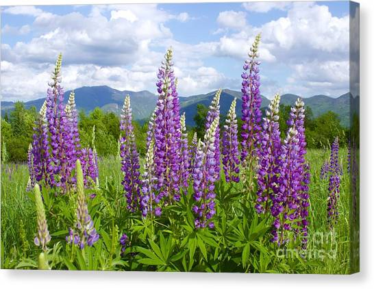 Sugar Hill Lupines Canvas Print