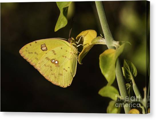 Sulfur Butterfly Canvas Print - Sulfur As Bright As The Sun  by Ruth Jolly