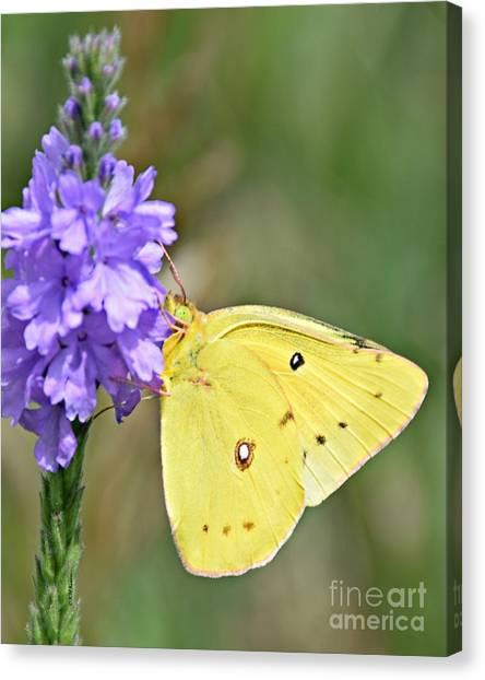 Sulfur Butterfly Canvas Print - Sulfur Butterfly by Kathy M Krause