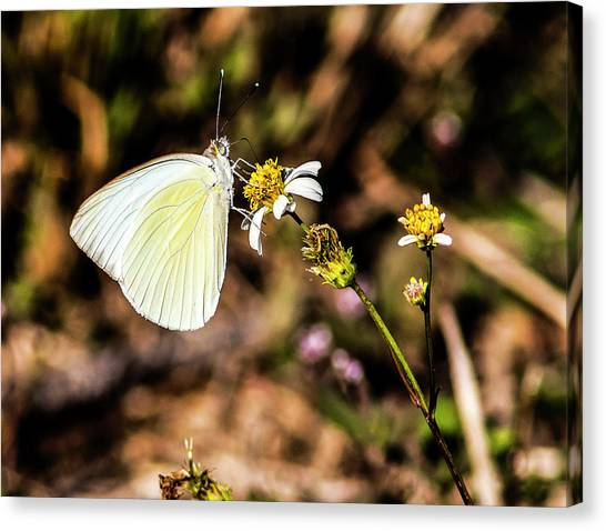 Sulfur Butterfly Canvas Print - Sulfur Feeder by Norman Johnson