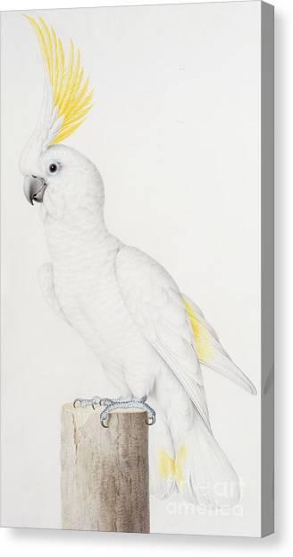 Cockatoos Canvas Print - Sulphur Crested Cockatoo by Nicolas Robert