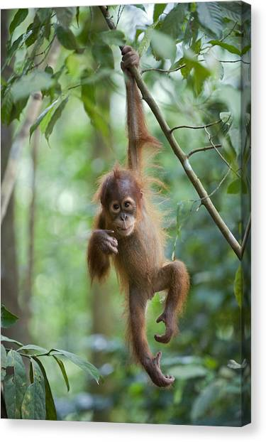 Canvas Print featuring the photograph Sumatran Orangutan Pongo Abelii One by Suzi Eszterhas