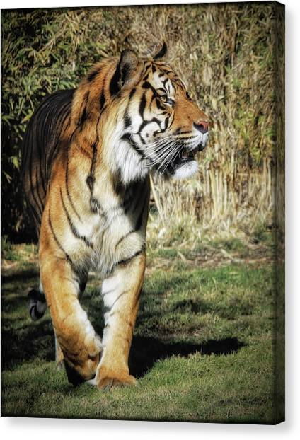 Canvas Print featuring the photograph Sumatran Tiger  by Elaine Malott