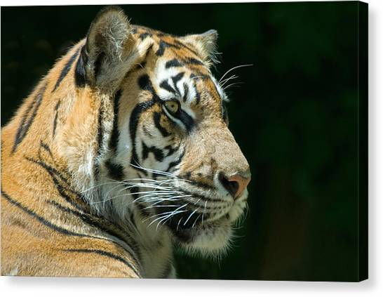 Tiger Canvas Print - Sumatran Tiger by Mary Lane