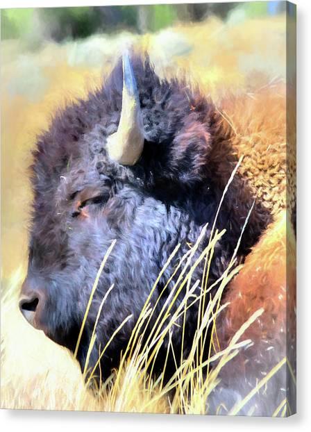Summer Dozing - Buffalo Canvas Print