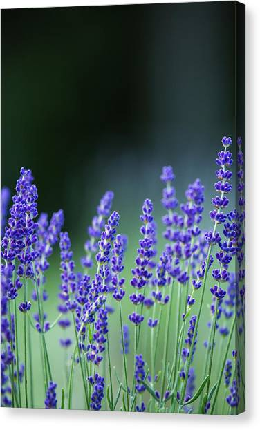 Summer Lavender Canvas Print