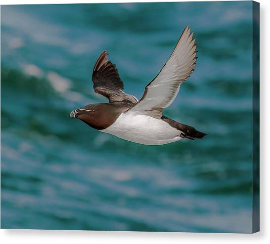 Razorbills Canvas Print - Summer Razorbill by Roy McPeak
