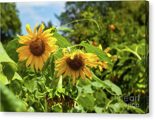 Summer Sunflowers Canvas Print