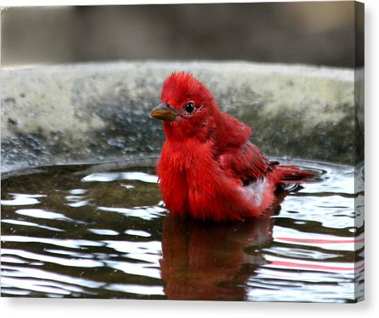 Summer Tanager In Bird Bath Canvas Print