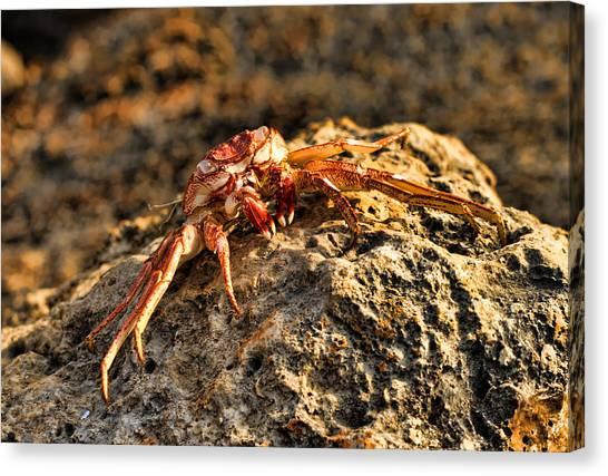 Sun-baked Spider Crab Canvas Print