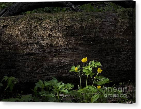 Sun Beam On Log Canvas Print