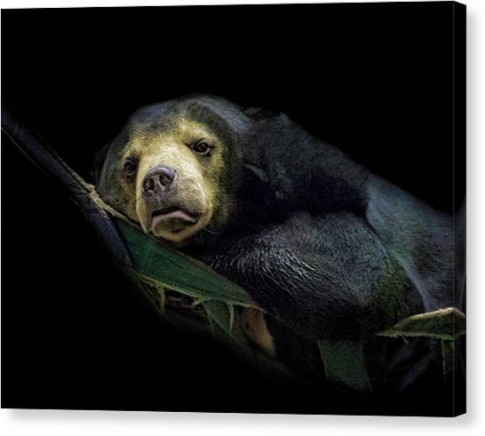 Bear Claws Canvas Print - Sun Bear by Martin Newman