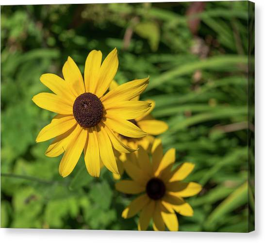 Sun Drenched Daisy Canvas Print