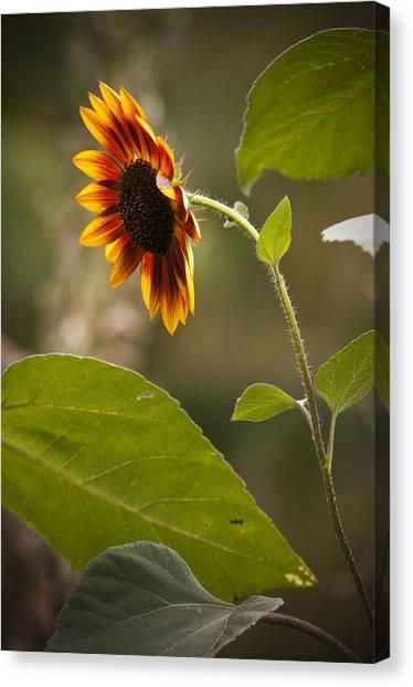 Sun Flower Canvas Print by Chad Davis
