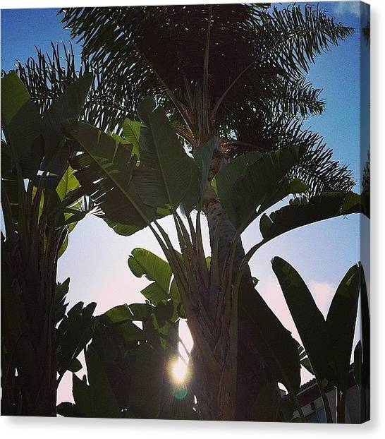 Santa Monica Canvas Print - Sunshine Peeks Through The Palms In Santa Monica by Lana Rushing