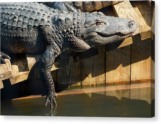 Sunbathing Gator Canvas Print