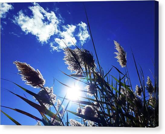 Sunburst Reeds Canvas Print