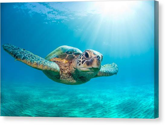 Turtles Canvas Print - Sunburst Sea Turtle by Michael Swiet
