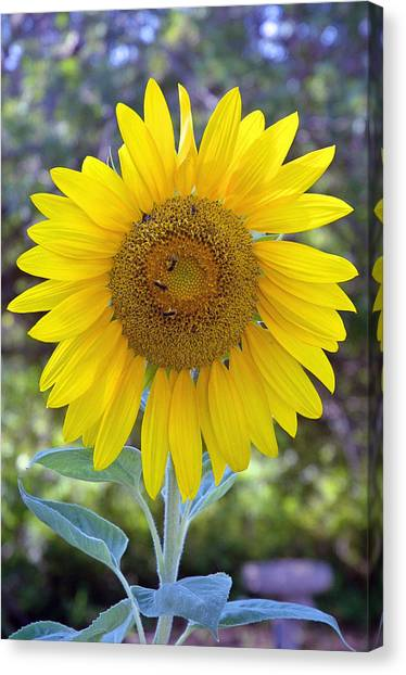 Sunflower 1 Canvas Print by Mickie Boothroyd