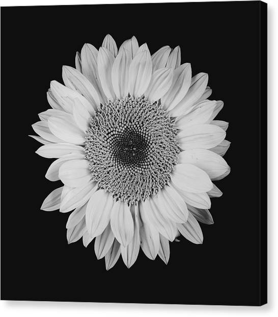 Sunflower #10 Canvas Print