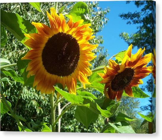 Sunflower 102 Canvas Print by Ken Day