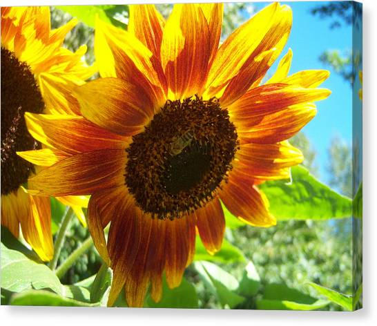 Sunflower 104 Canvas Print by Ken Day