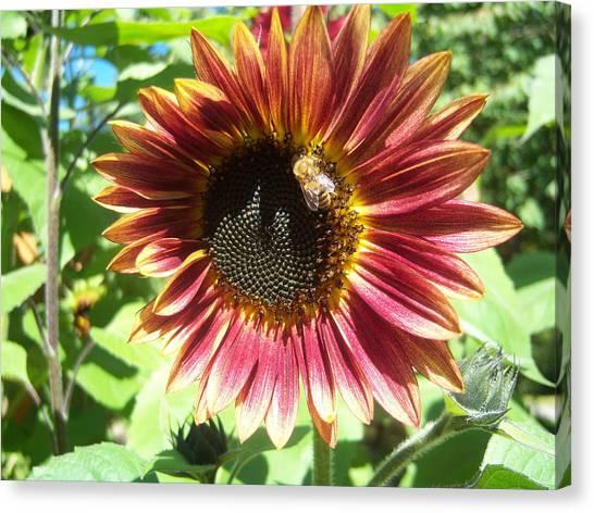 Sunflower 108 Canvas Print by Ken Day