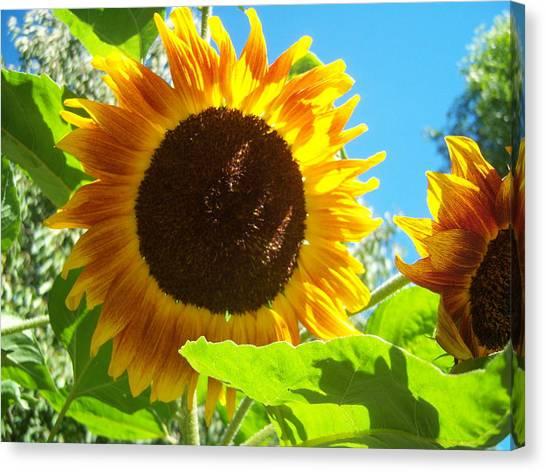 Sunflower 117 Canvas Print by Ken Day