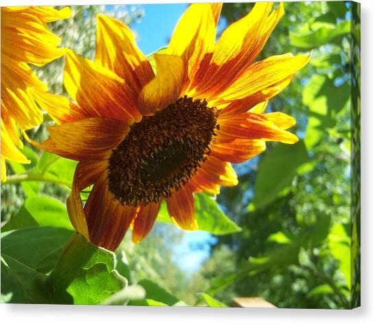 Sunflower  119 Canvas Print by Ken Day